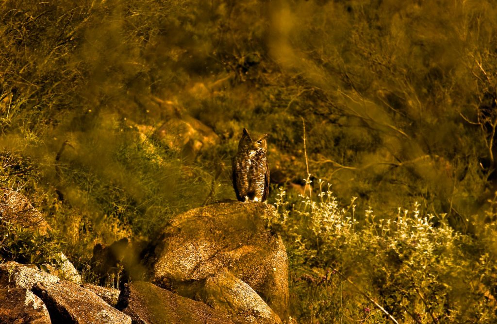 Desert Owl - Cave Creek Arizona
