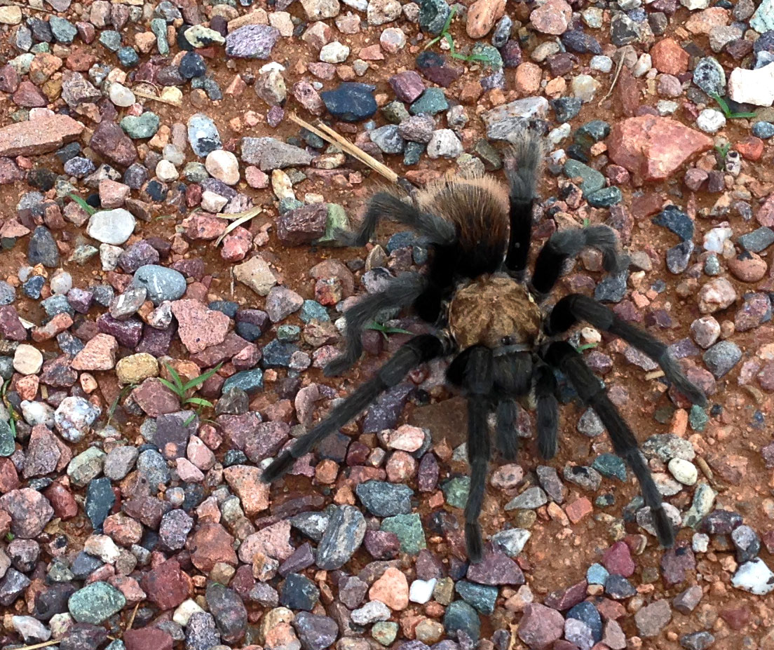 Arizona Tarantula